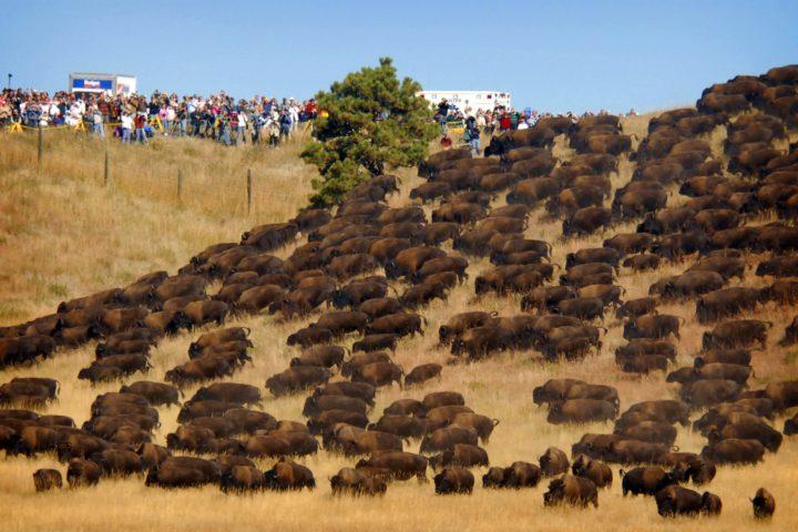 bisonti-attraversano-standing-rock