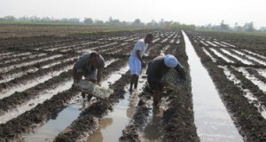 """Cooperatives: Egypt's Farmers Sow the Seeds of an """"Agricultural Revolution"""""""