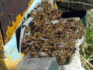 L'avenir des abeilles avec Monsanto: saisies et destruction des reines résistantes
