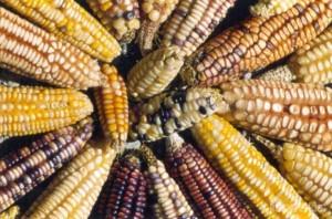 Déclaration de Yvapuruvu – lois sur les semences: refusons la dépossession