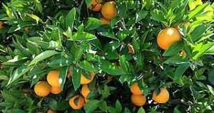 South African Legislators Reject European Measure on Citrus