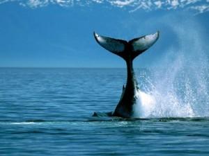 """Caccia alle balene: l'Aia proibisce al Giappone la caccia a fini """"scientifici"""""""