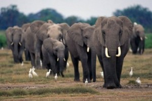 Elephant Poaching Across Africa 'Alarmingly High'