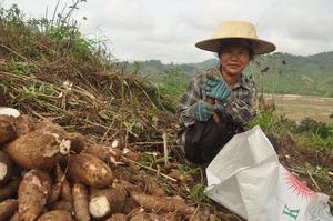 Culture du manioc sur les rives du Mékong : les petites fermes ont tendance à donner à la production alimentaire priorité sur la production de matières agricoles et de cultures d'exportation.