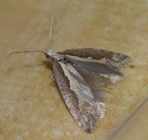 Après le moustique OGM au Brésil, le papillon génétiquement modifié à New York