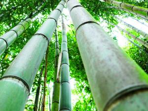 Le bambou pourrait être un sauveur face au changement climatique