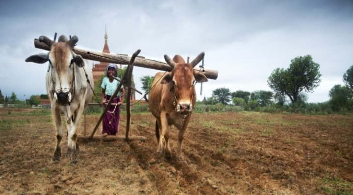 myanmar aratro contadini protesta
