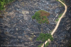 How Loggers Are Destroying the Amazon — and Getting Away with Tt