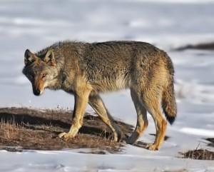 Attenti al lupo! La sicurezza nella città della politica ospitale
