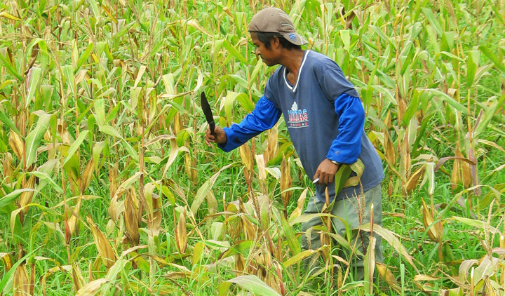 Farmer in Pangasinan, Philippines