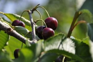 Alerte ! Suzukii, la mouche ravageuse, déprime la production française de fruits