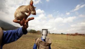 Estas ratas gigantes detectaban minas antipersona en Mozambique