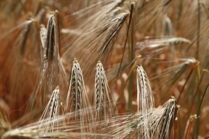 Intolleranza al glutine: e se la colpa fosse del cibo spazzatura?