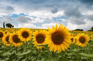 Monsanto hacia la fusión con Syngenta, oligopolio del agronegocio