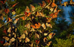 Είναι στη Φύση το να φεύγεις για καλύτερα – το λένε οι πεταλούδες