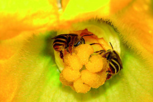 'Bees Can Help Boost Food Security of Two Billion Small Farmers at No Cost'
