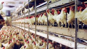 Factory farming reforms proposed in Germany