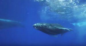 Le balene, moderatrici del clima