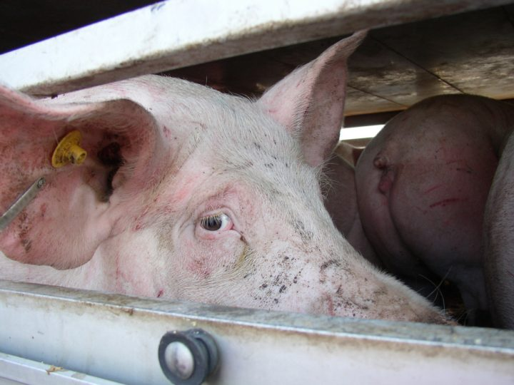 Pigs_stop live transports