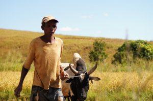 Avec les éleveurs de zébus malgaches