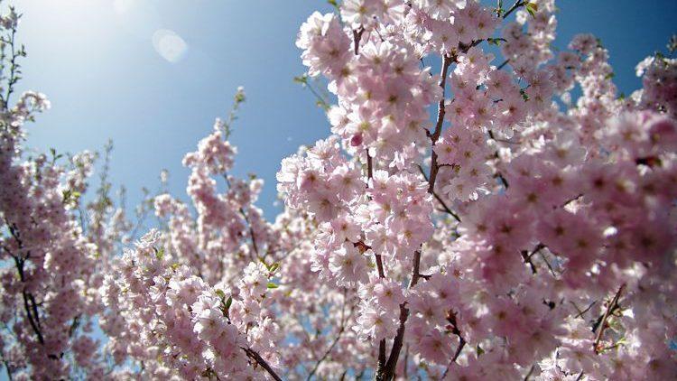Kirschblüten wehen durch Berlin und verbreiten Frieden und Ruhe