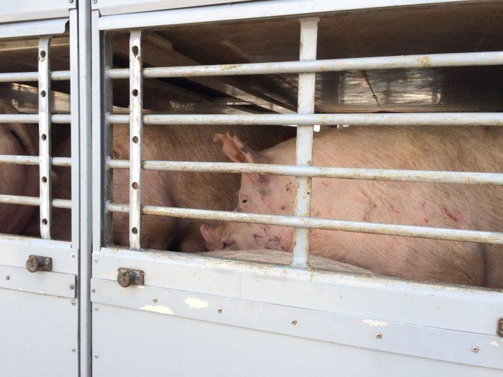 Ola de calor: La Oficina Alemana de Bienestar Animal exige la prohibición del transporte de animales; prohibición que ya existe en Francia