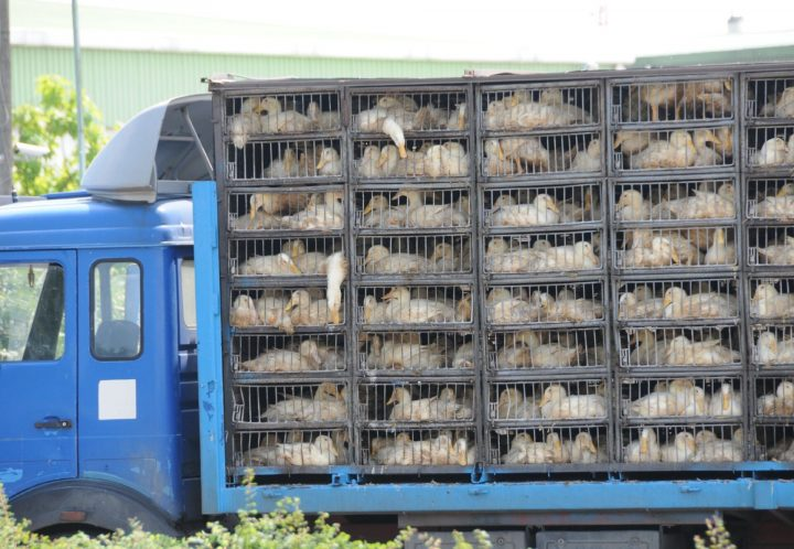 La legislación de la UE y el transporte de animales en temperaturas abrasadoras: ¿para qué lo necesitamos si se rompe constantemente?