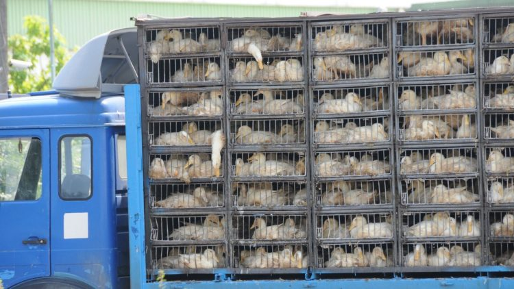 Trotz EU-Verordnung werden weiterhin lebende Tiere bei glühender Hitze quer durch Europa transportiert, ohne ausreichende Kontrollen und wenn, dann nur auf Meldung aus der Zivilbevölkerung hin.