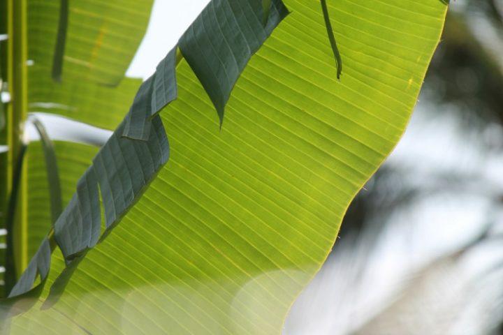 Los plátanos podrían purificar el agua en la Amazonía