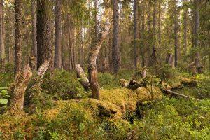 Dopo 20 anni di campagne, protetta in Russia una foresta grande come il Belgio