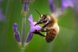 La abeja es declarada el ser vivo más importante del planeta