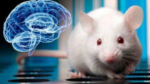 Logran mantener vivos cerebros extraídos de ratones durante 25 días