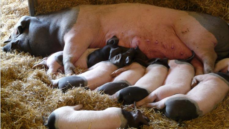 Entscheidung zur Kastenstandhaltung von Zuchtsauen erneut verschoben: wir brauchen eine Tierschutzwende!