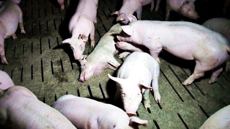 Italien: Unterstützung für von der Fleischindustrie angegriffene Journalisten