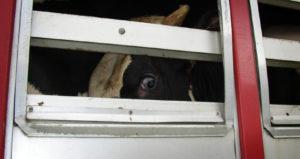 Brandenburg stoppt Tiertransporte nach Russland