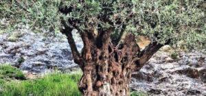 De figos secos, passas, colinas e azeite