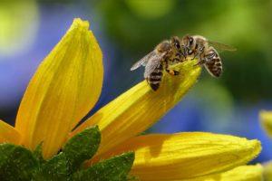 Giornata mondiale delle api, Vandana Shiva: I veleni in agricoltura portano all'estinzione delle api e dell'umanità