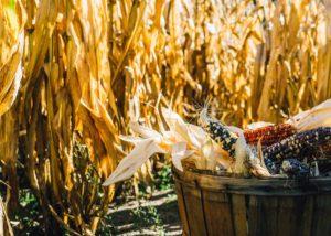 México: una ley de protección al maíz, que protege a las corporaciones