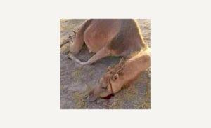Carta aberta dos escritores saarauís no exílio à UNESCO e aos defensores dos animais