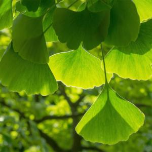 Hibakujumoku: donato a Perugia un albero della pace