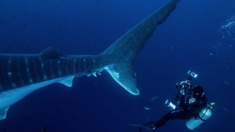 Miles de buzos al año visitan áreas protegidas tropicales como Galápagos, para nadar inofensivamente con tiburones ballena, mantas y otra megafauna marina. A más de no causar daños a l misma, deja ingresos de millones de dólares a las comunidades locales y sus habitantes.