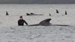 380 φάλαινες πεθαίνουν κοντά στις ακτές της Νοτίου Αυστραλίας