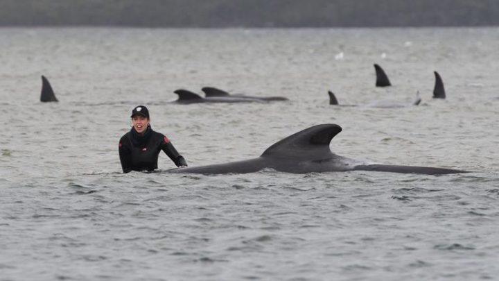 Unas 380 ballenas mueren varadas en el sur de Australia