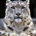 Aumenta vulnerabilidad del leopardo de las nieves, advierten en India
