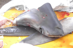 Mezzo milione di squali saranno abbattuti per estrarre lo squalene utile ai vaccini anti-Covid