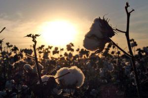 Comunidades qom producen algodón agroecológico