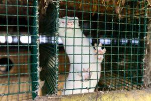 Massentötungen von Nerzen in Dänemark – VIER PFOTEN fordert Ende der Pelztierzucht