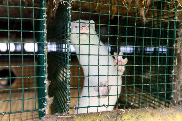 Massentötungen von Nerzen in Dänemark - VIER PFOTEN fordert Ende der Pelztierzucht