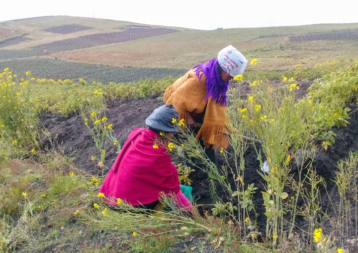 Mujeres realizando labores agrícolas en tierras altas.