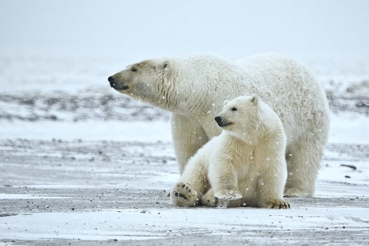 In 'Huge Victory for Polar Bears and Our Climate,' Court Rejects Trump Approval of Offshore Drilling Project in Arctic